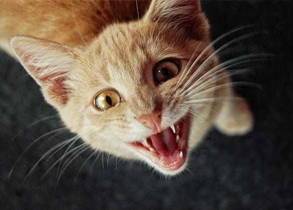 Moet ik de tanden van mijn kat poetsen?