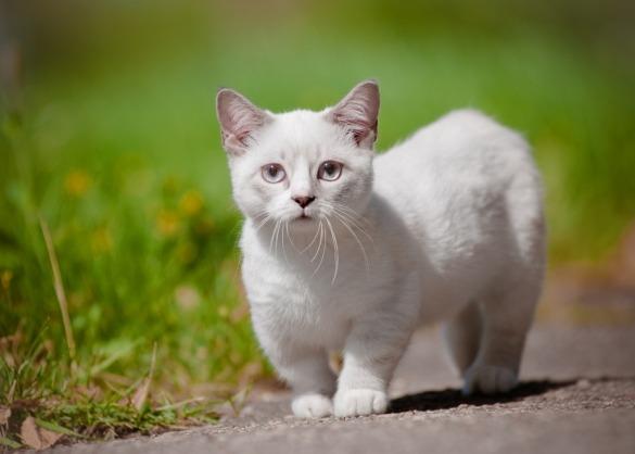 Munchkin kat met korte poten loopt door de tuin