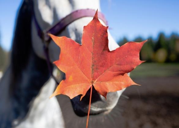 Schimmel paard met rood verkleurd esdoornblad