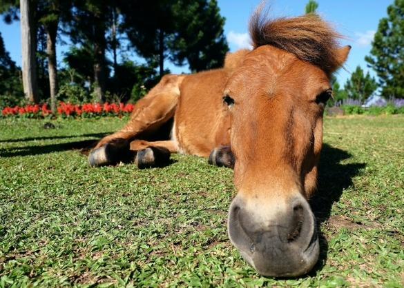 Paard ligt neer in het gras