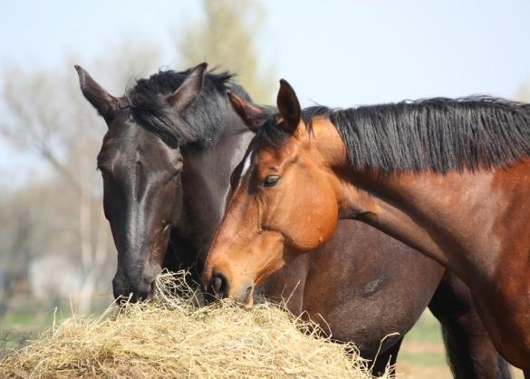 Twee paarden eten van een grote baal hooi