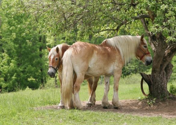 Twee trekpaarden in de schaduw van een groene boom
