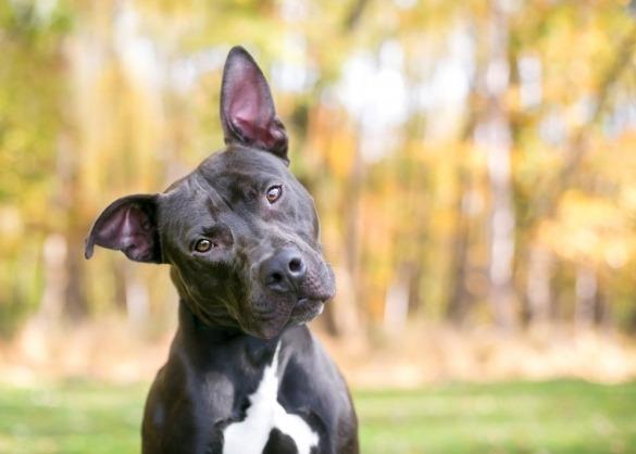Zwart-witte pitbull terriër spitst zijn oren