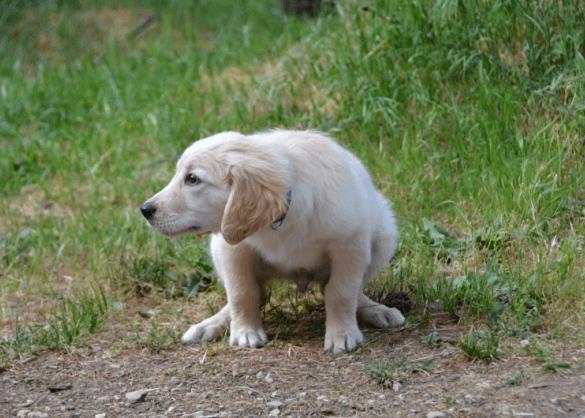 plassende puppy
