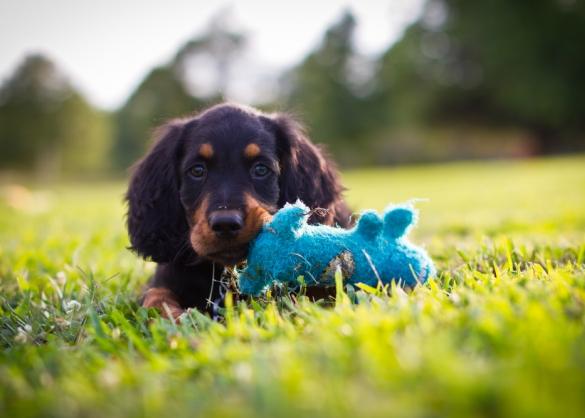 Puppy ligt in gras met blauw speeltje