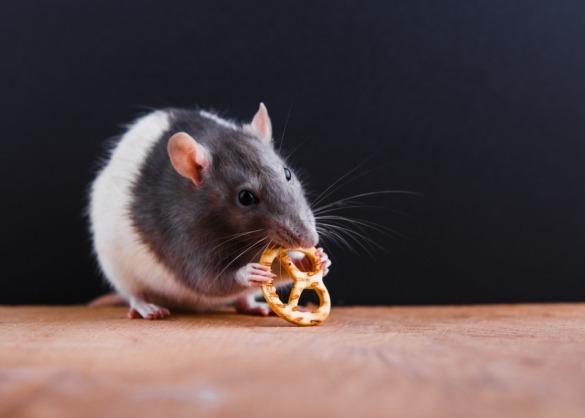 Tamme zwart-witte rat eet pretzl-koekje