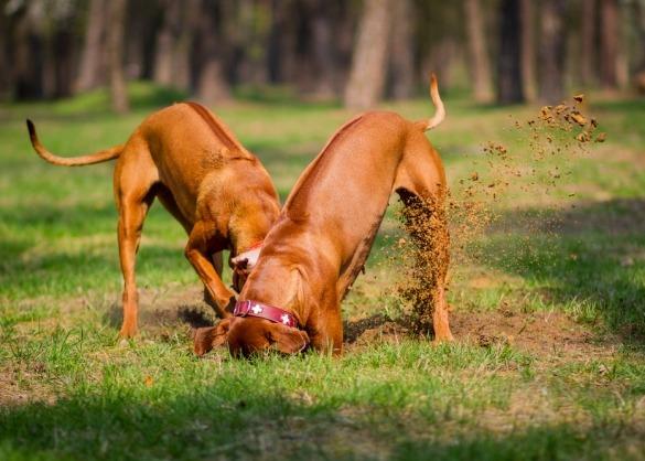Twee honden graven put in gazon
