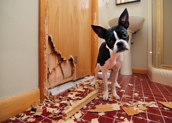 Hond kijkt schuldig naast kapot gekrabde deur