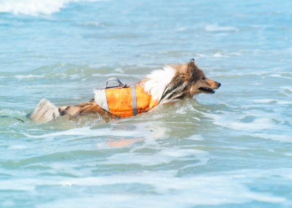 Zwemmende sheltie in zee