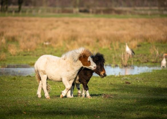 2 shetlanders knuffelen in een weide.