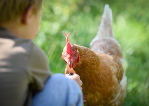 Kip eet uit hand van kind