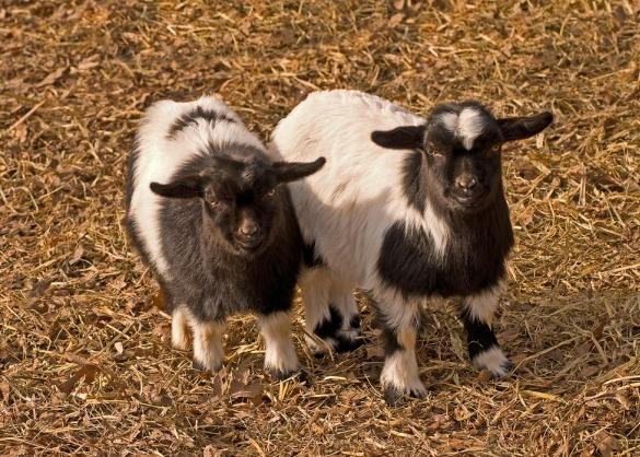 Twee myotonische geiten