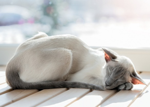 Siamese kat slaapt op houten vloer
