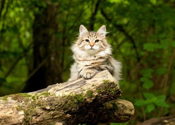 Siberische boskat op een boomstronk