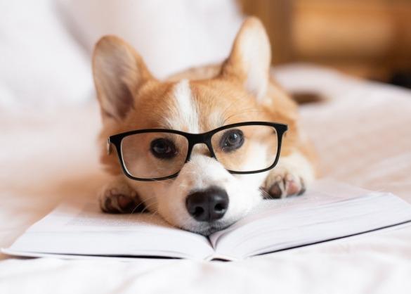 Corgi met bril ligt op boek