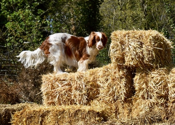 Springer spaniel hond op strobalen