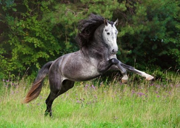 springende Andalusiër in veld