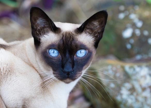 tonkanees met blauwe ogen