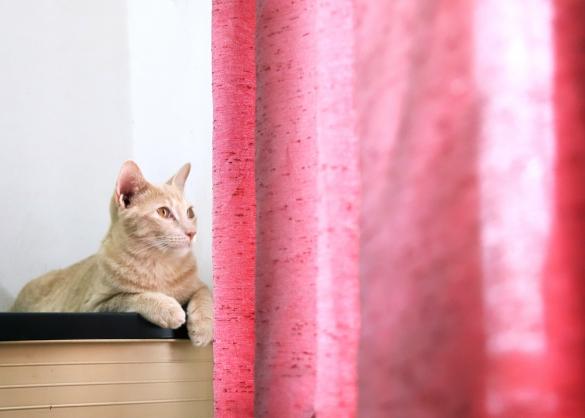 Kat bij roze gordijn