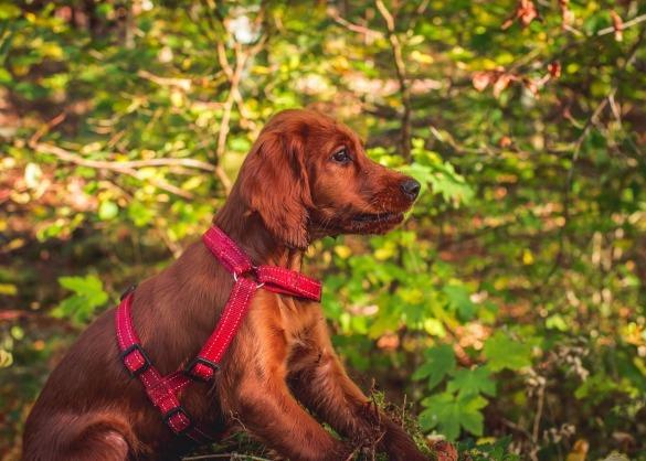 Zittende hond aan leiband in het bos