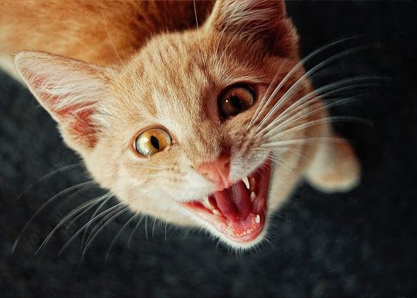 Oranje kat met haar mond open