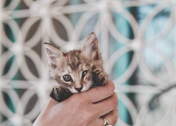 Jonge kitten wordt vastgehouden door mens
