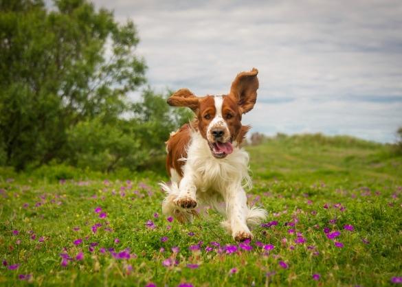 Welsh Springer Spaniel loopt enthousiast door wild veld.