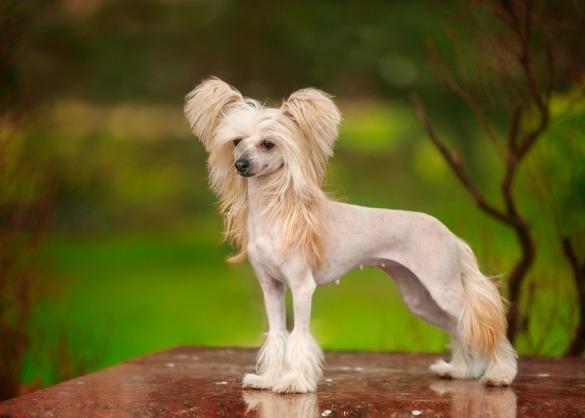 witte Chinese naakthond