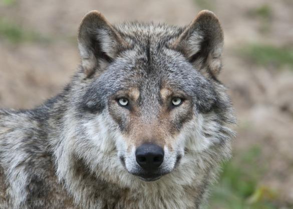Portret van een wolf