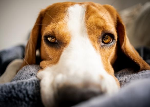 Zieke hond kijkt recht in camera