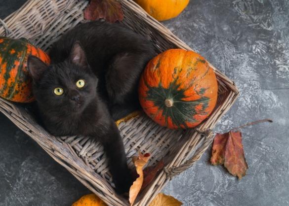 Zwarte kat in mand met pompoenen