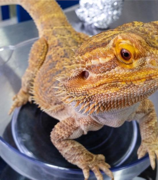 Baardagame zit op petrischaaltje bij de dierenarts