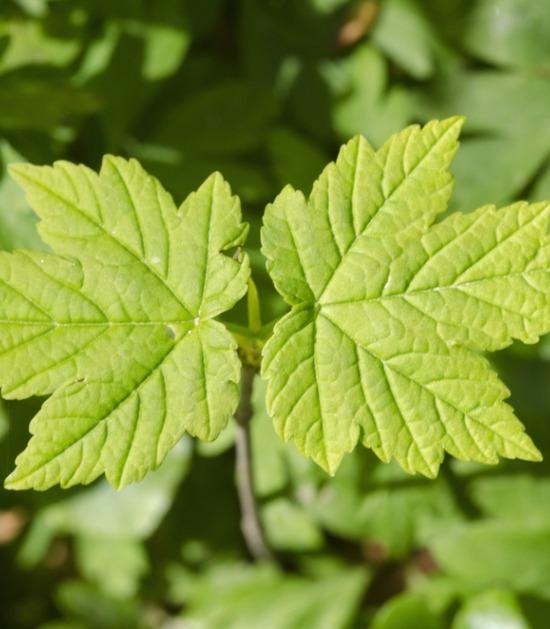 Enkele bladeren van de esdoorn