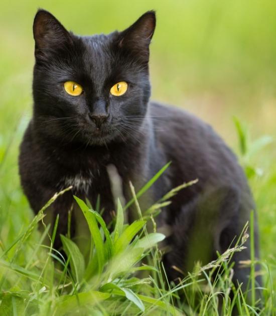 Bombay kat in het gras