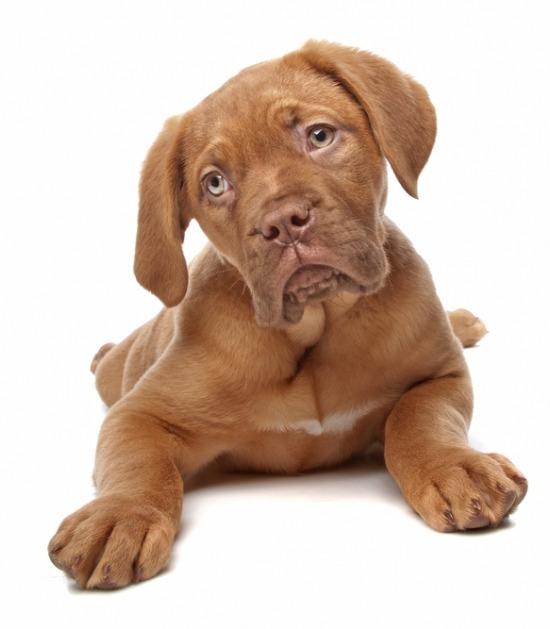 liggende puppy Bordeaux dog op witte achtergrond