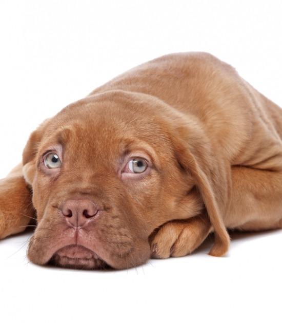 Puppy Bordeaux dog op witte achtergrond