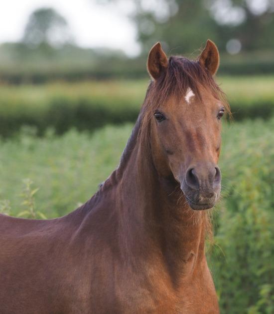 bruine Welsh Pony