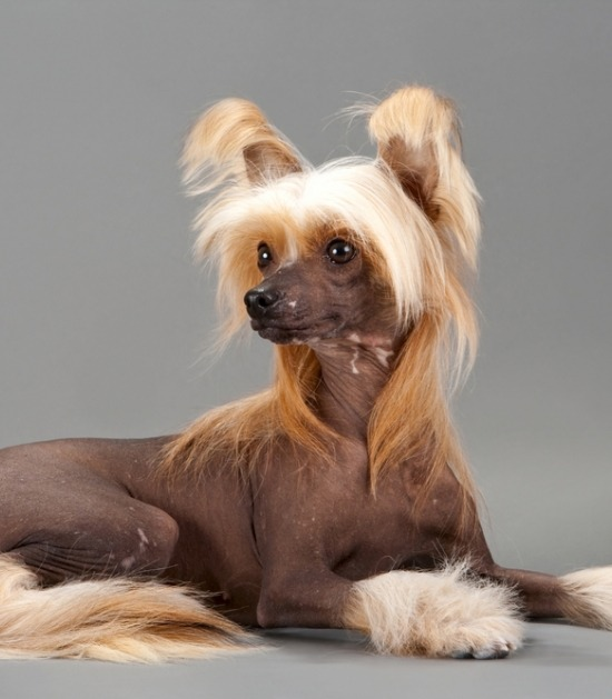 Chinese naakthond voor grijze achtergrond