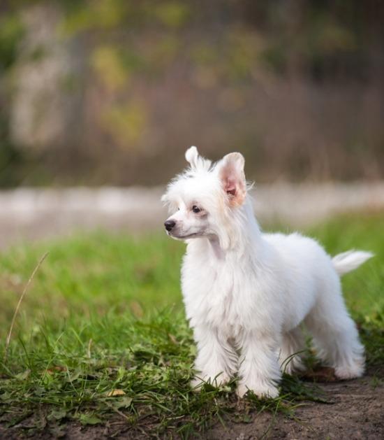 powderduff Chinese naakthond