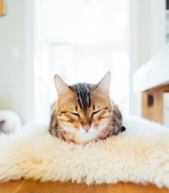 Bengaalse kat ligt op haar buik in bed te slapen