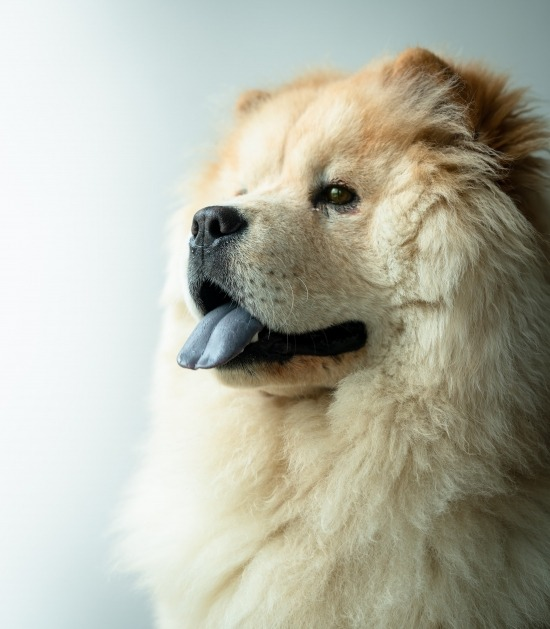 Witte chow chow