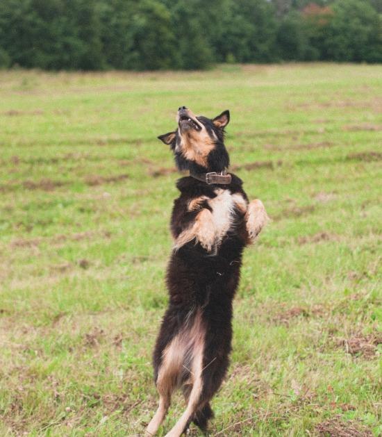 Duitse herder springt omhoog in gras