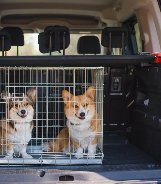 Twee corgi's in een draadbench in een autokoffer