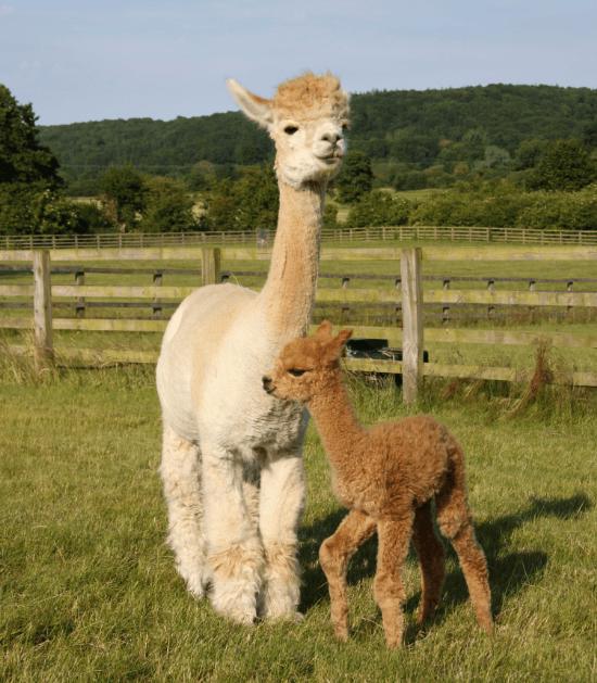 moeder en kind lama