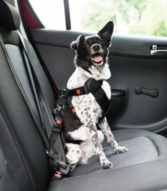 Hond zit op achterbank met stevig tuigje