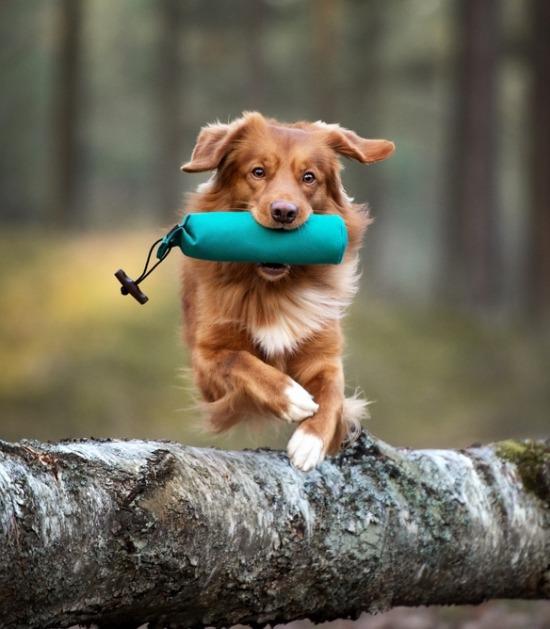 Nova scotia duck tolling retriever apporteert dummy terwijl hij over boomstam springt