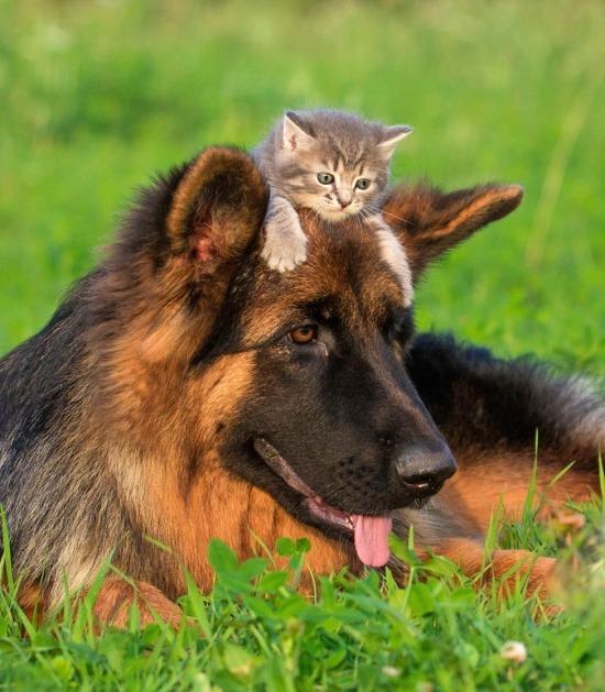 Kitten ligt op de kop van een herdershond