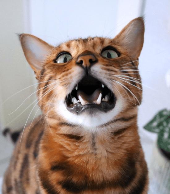 De meeste Bengalen praten en miauwen erg luid