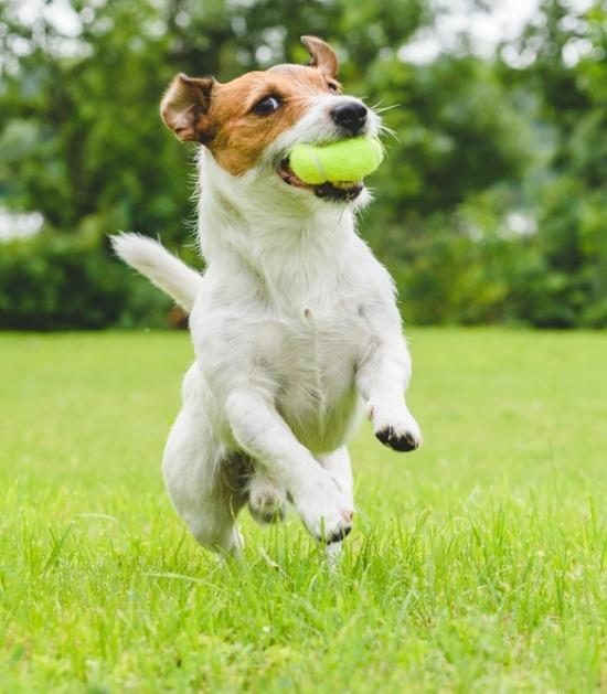 De jack russell springt naar een bal