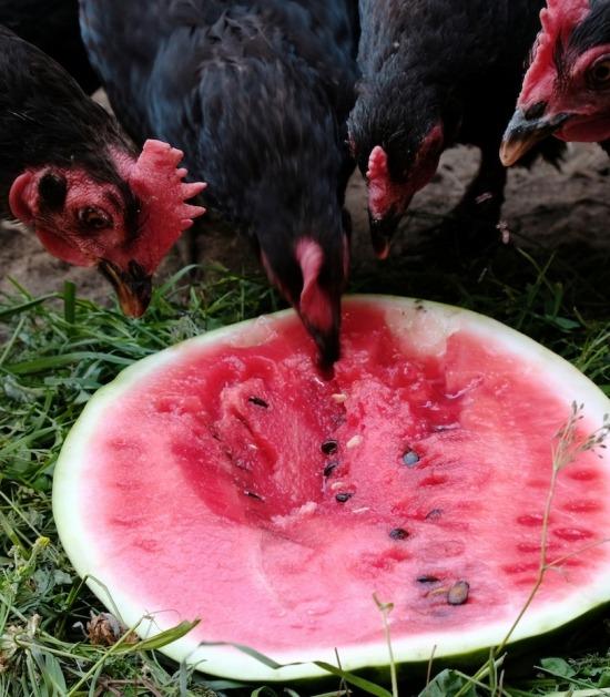 Kippen pikken pitten uit watermeloen